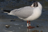 Black-headed Gull W[VXF]
