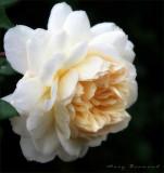 Crocus Rose - DA