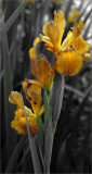 Spuria iris