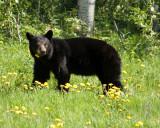 Black Bear in Flowers