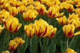 Tulpen in de Efteling