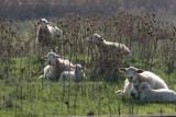 Pecore osmannoro_7638.jpg