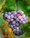 Grapes @ LVC Winery 2