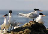 Royal Terns, Isla Rasa 4
