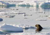Walrus, Moffen Island Svalbard 6