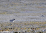 Reindeer, Gashamna Svalbard