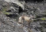 Arctic Fox, Diskobutka Svalbard