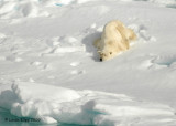 Polar Bear,  Svalbard Norway 3