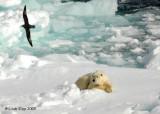 Polar Bear,  Svalbard Norway 7