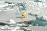Polar Bear,  Svalbard Norway 11