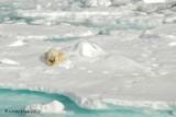 Polar Bear,  Svalbard Norway 13