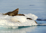 Walrus, Moffen Island Svalbard 3