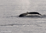 Humpback Whale,  Svalbard Norway 1