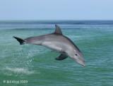 Bottlenose Dolphin 4