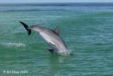 Bottlenose Dolphin 5
