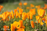California Poppies 1