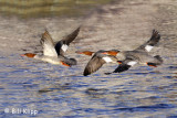 Red Breasted Mergansers   2