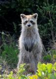 Raccoon, Mud Keys 1