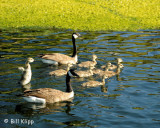 Canadian Geese  7