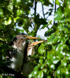 Green Heron Chicks  3