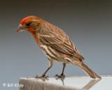 Male Finch  1