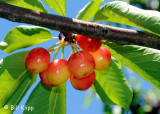 Brentwood Cherries 2
