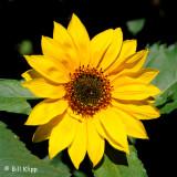 Brentwood Sun Flowers