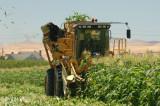 Brentwood Corn Harvest 2