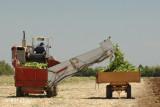 Brentwood Corn Harvest 3