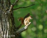 Red Squirrel, Northern Minnesota 2