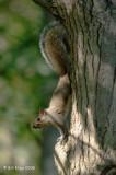 Grey Squirrel, Northern Minnesota