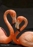 Hearts of Flamingo, San Diego Zoo