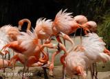 Flamingo Chaos,  San Diego Zoo