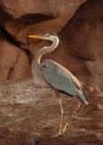 Great Blue Heron,  Baja Isla Islotes