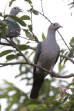 389 ::Green Imperial Pigeon::