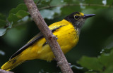 391 ::Black-hooded Oriole::