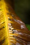Old Banana Leaf