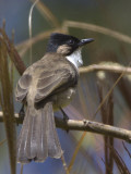 429 - Brown-breasted Bulbul