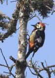 435 - Crimson-breasted Woodpecker