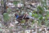 449 - Mrs Hume's Pheasant