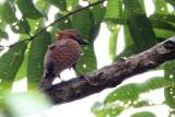 459 - Rufous Woodpecker