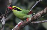 326 - Common Green Magpie