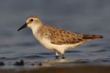 334 ::Red-necked Stint::