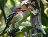 351 ::Banded Kingfisher::