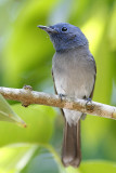 124 ::Black-naped Monarch::