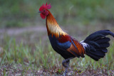 256 ::Red Junglefowl::