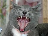 Yawning Gracie