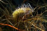 Phryganeidae Giant Caddisfly Naked
