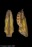 Painted Lady Chrysalis