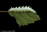 Nerice bidentata - Double-toothed Prominent